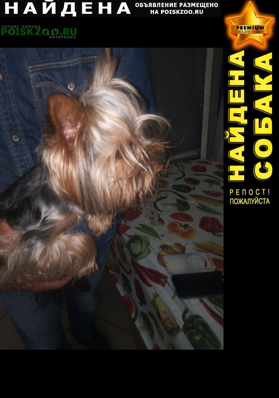 Найдена собака йоркширский терьер Оренбург