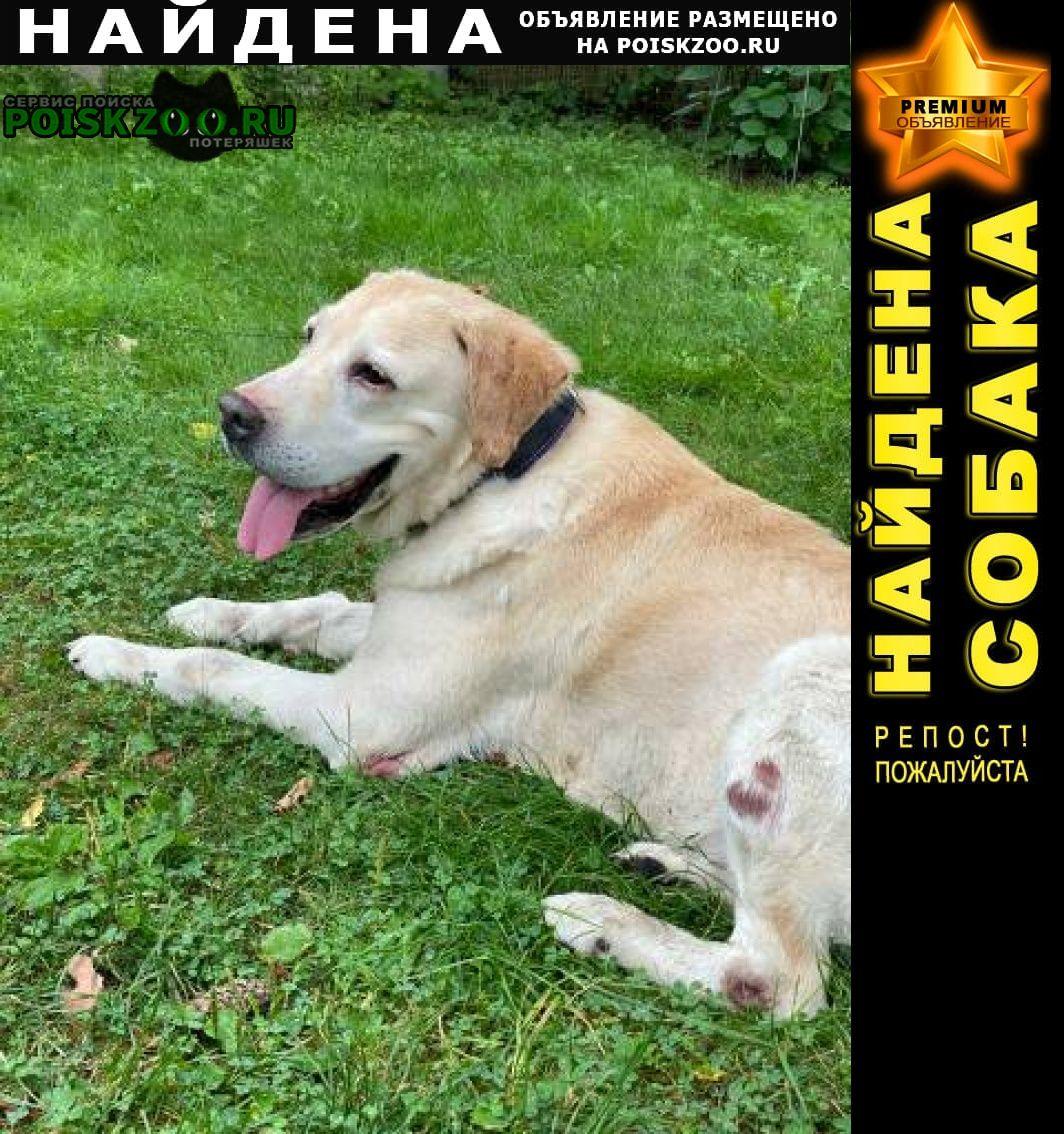 Найдена собака кобель лабрадор мальчик палевого окраса Дмитров