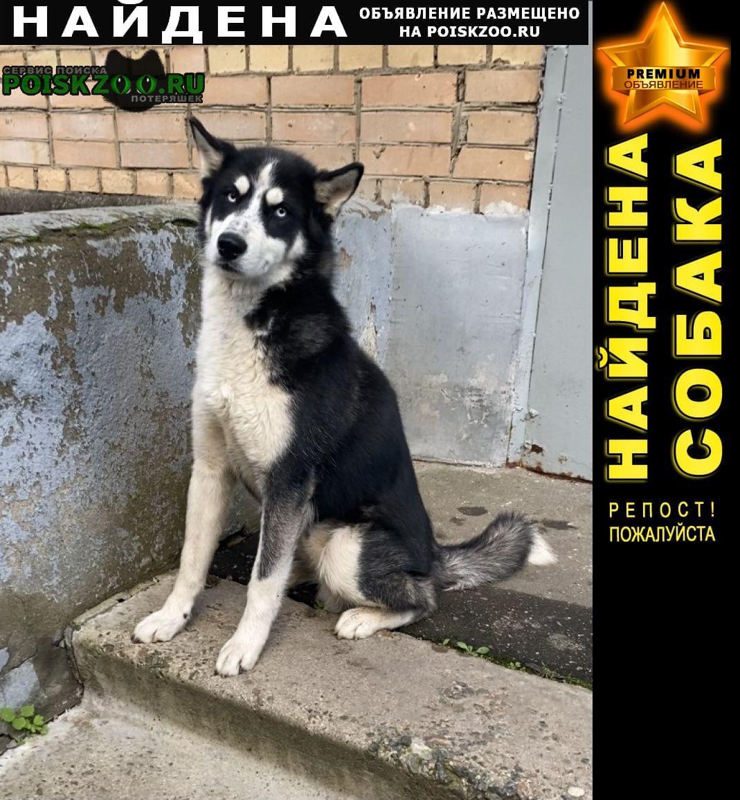 Найдена собака кобель хаски 1-1, 5 года Щелково