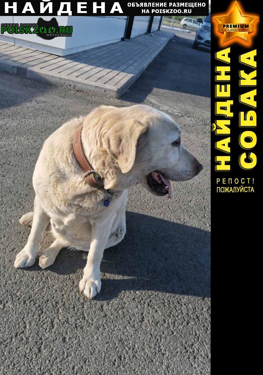 Найдена собака лабрадор Оренбург