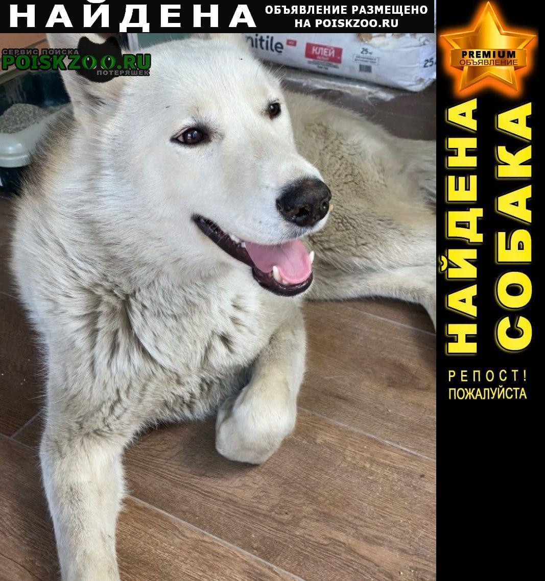Найдена собака кобель хаски Новочеркасск