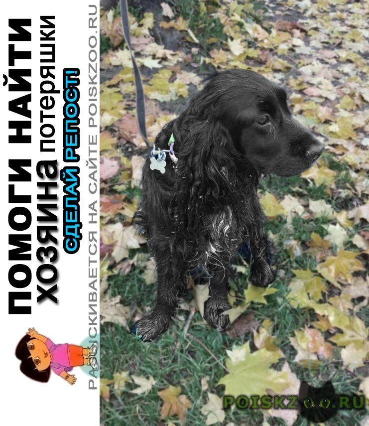 Найдена собака кобель. спаниель московская область г.Лобня