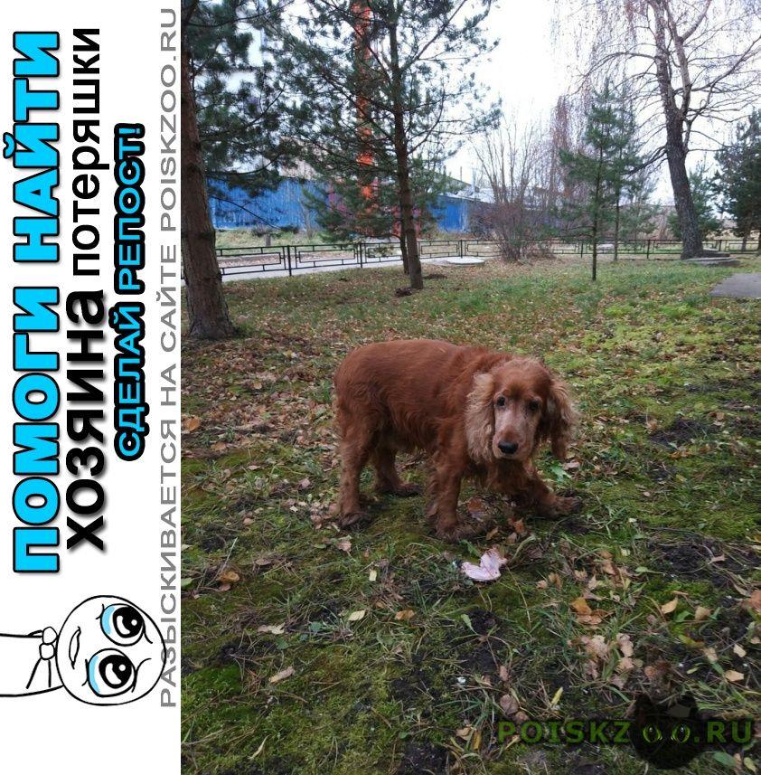 Найдена собака кобель ноябрь рыжий спаниель г.Санкт-Петербург