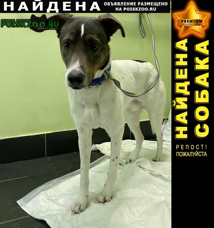 Найдена собака кобель метис джек рассел с ошейником и поводком Москва