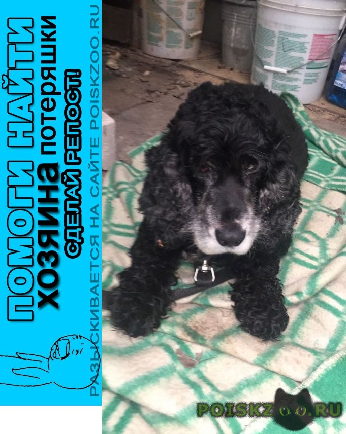 Найдена собака кобель московская область чёрный спаниель г.Москва