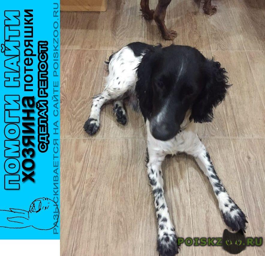 Найдена собака спаниель черно-белый г.Сочи