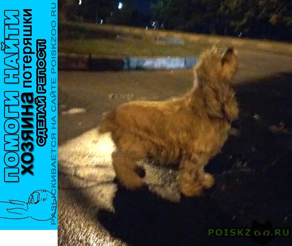 Найдена собака кобель 4.09 юао братеево американский спаниель г.Москва