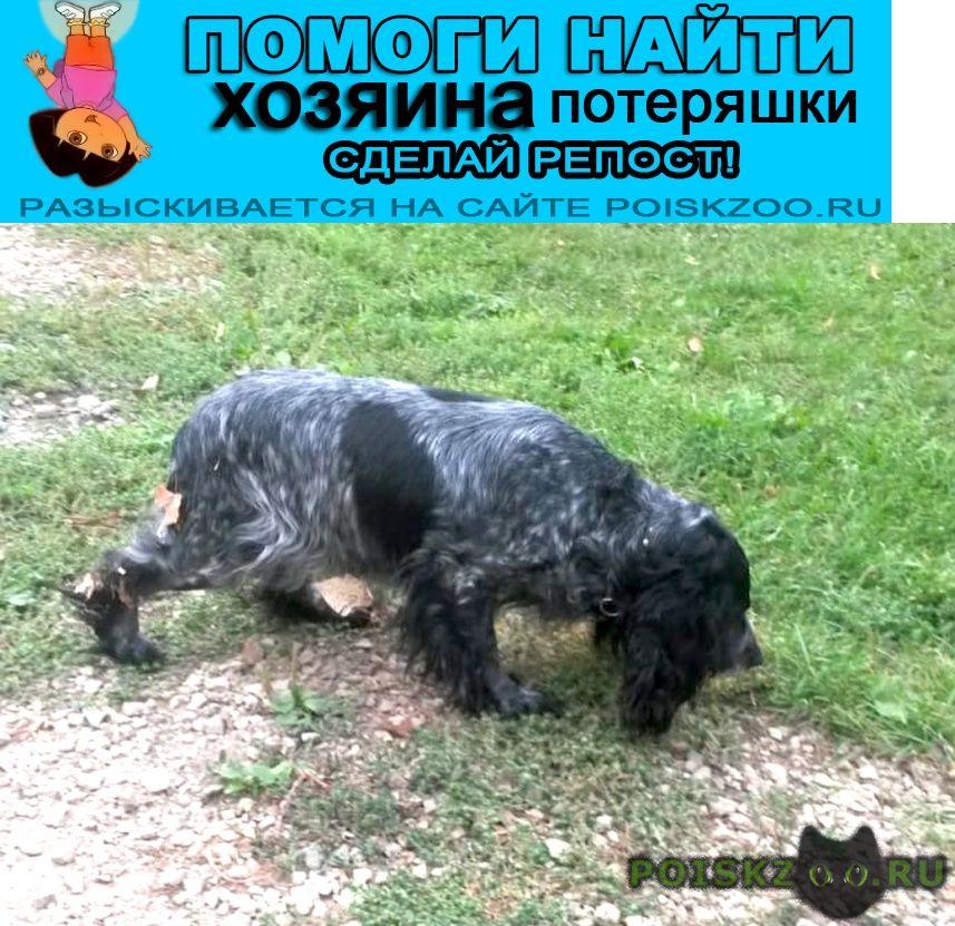 Найдена собака 4.09 юао братеево русский спаниель сука г.Москва