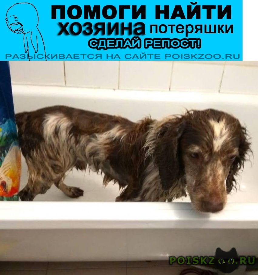 Найдена собака кобель 6.08 мкрн.ольгино коричневый спаниель г.Балашиха