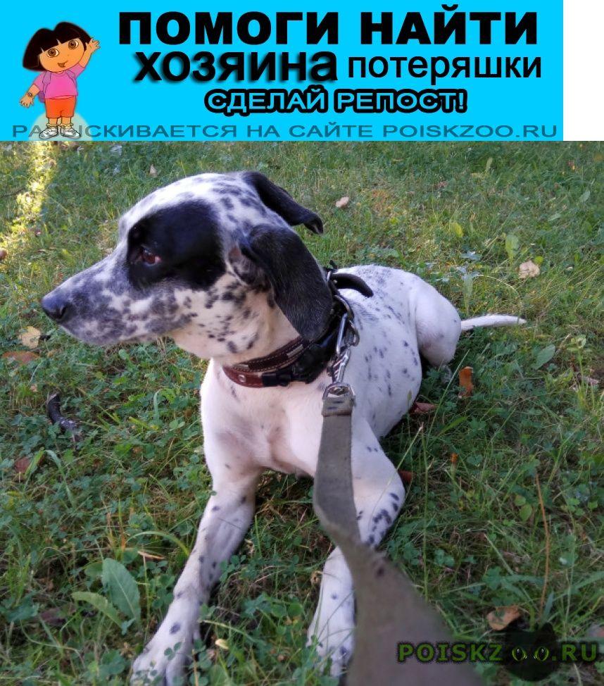 Найдена собака 24.08 кунцево далматин метис сука г.Москва