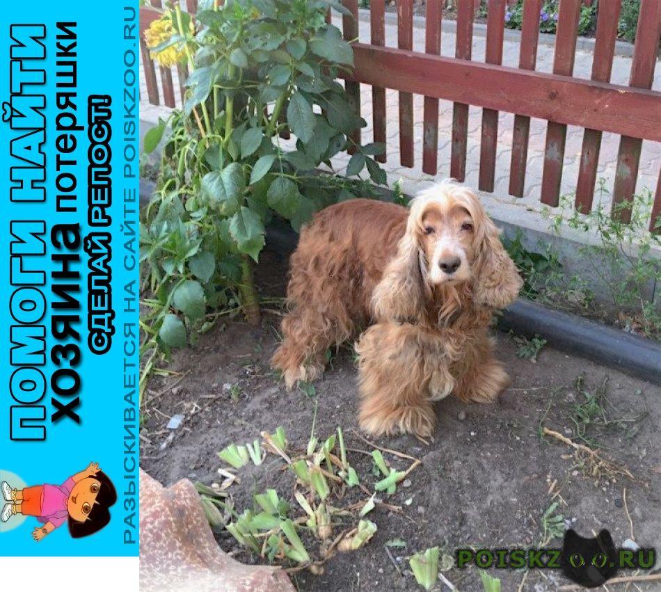 Найдена собака 6.09 пос.никоновское рыжий спаниель сука г.Ступино