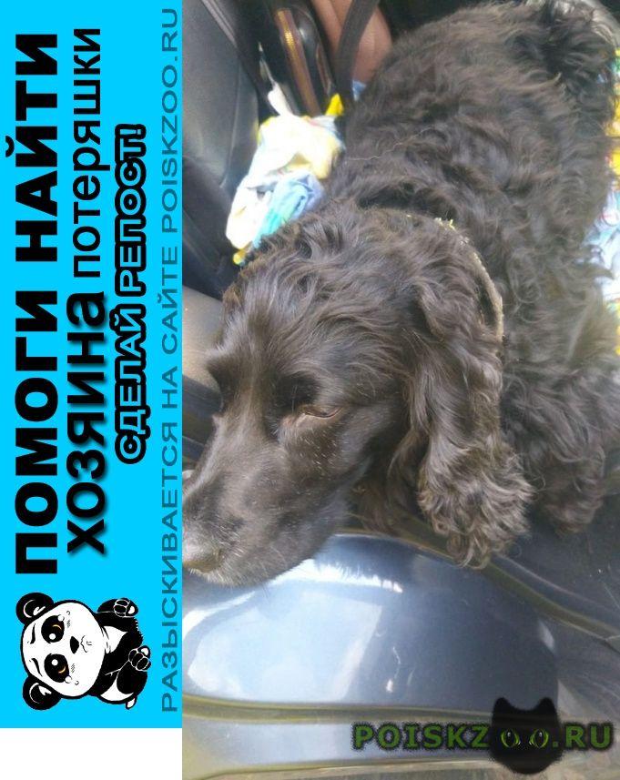 Найдена собака прионежский чална черный спаниель г.Петрозаводск