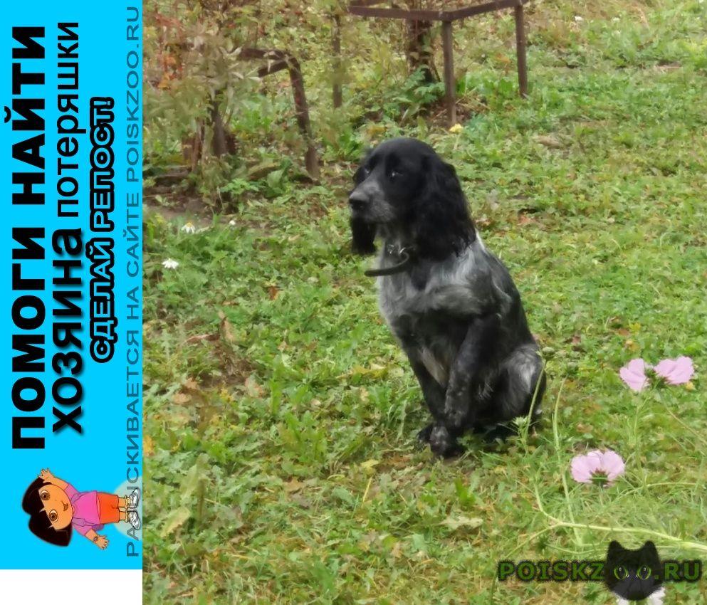 Найдена собака кобель русский спаниель большая брембола г.Переславль-Залесский