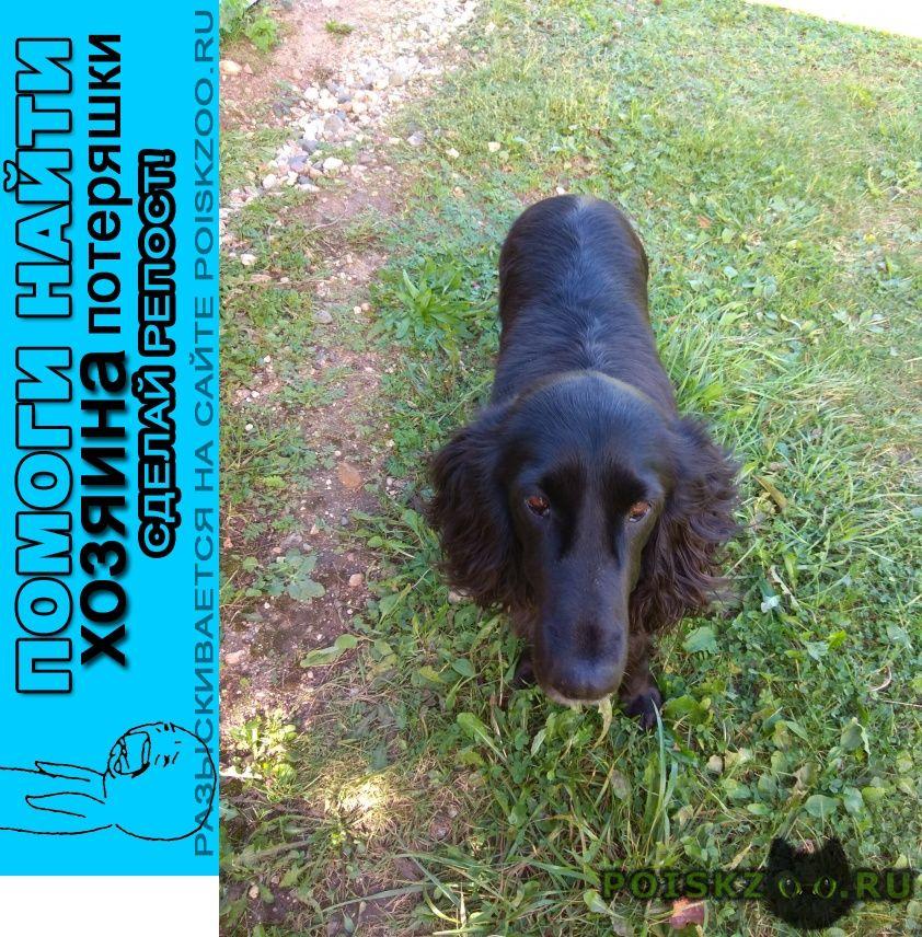 Найдена собака черный спаниель сука г.Переславль-Залесский