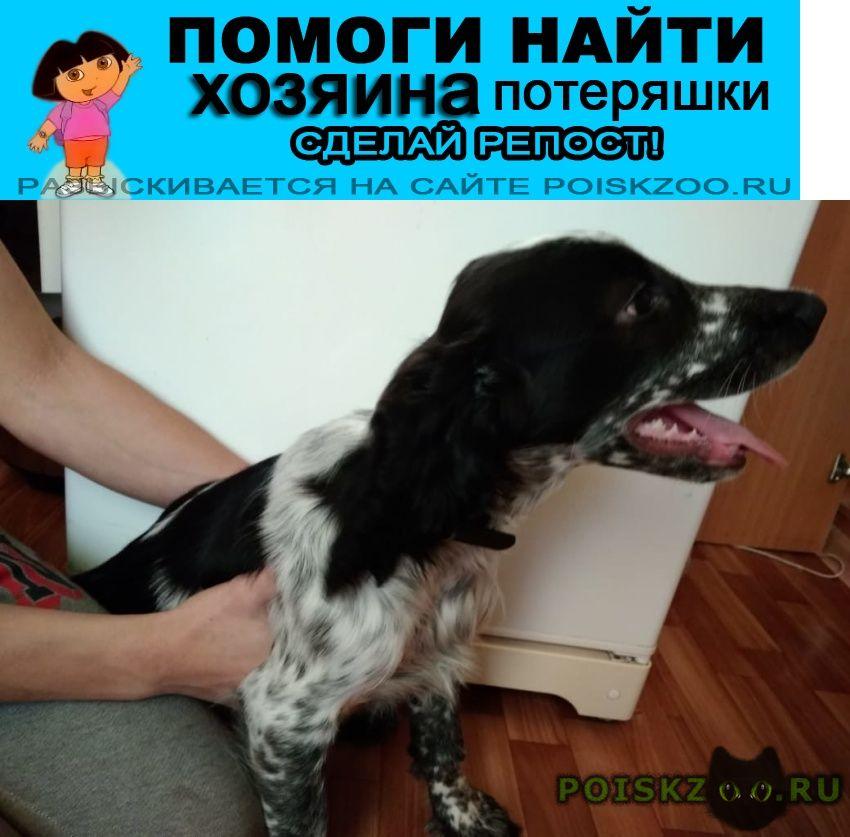 Найдена собака кобель спаниель русский 1.10 г.Подольск