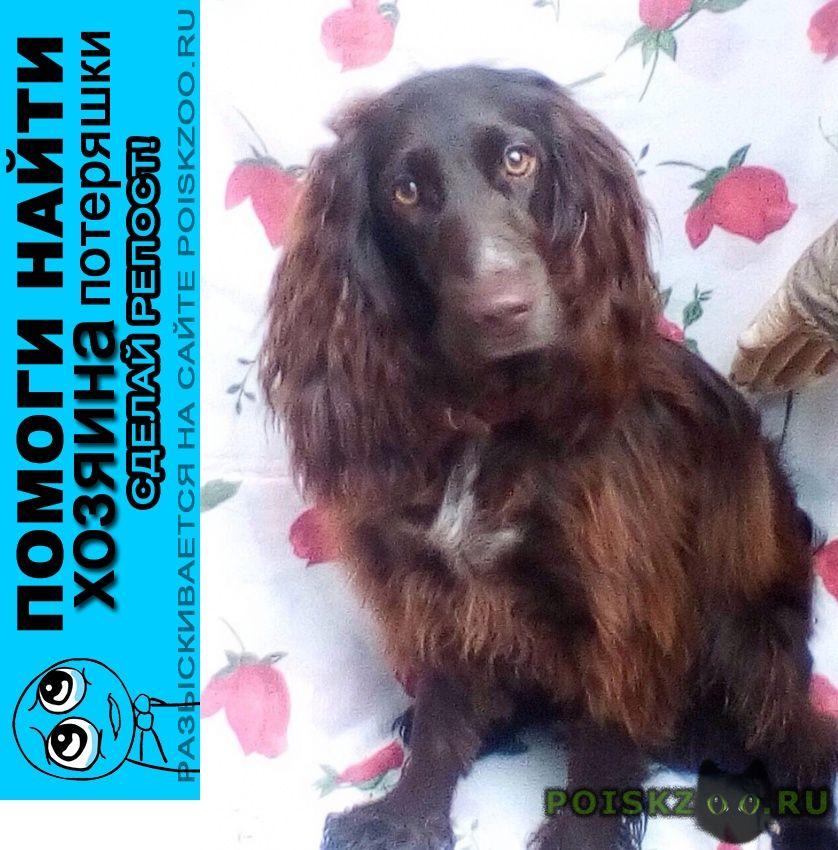 Найдена собака спаниель сука московская, калужская г.Обнинск