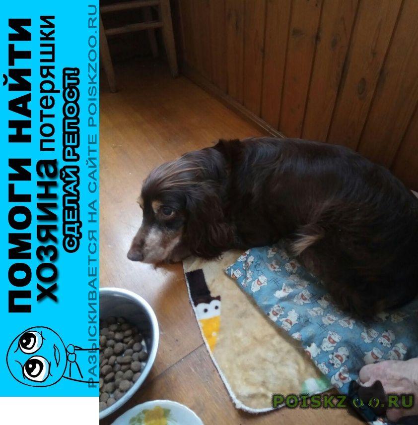 Найдена собака спаниель коричневый первомайский мкрн г.Королев