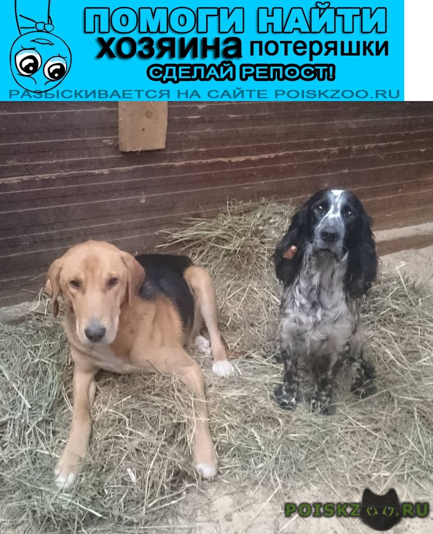 Найдена собака кобель спаниель гончая кобели г.Одинцово