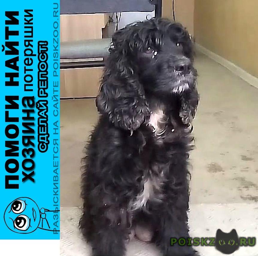 Найдена собака 23.10 спаниель девочка г.Солнечногорск