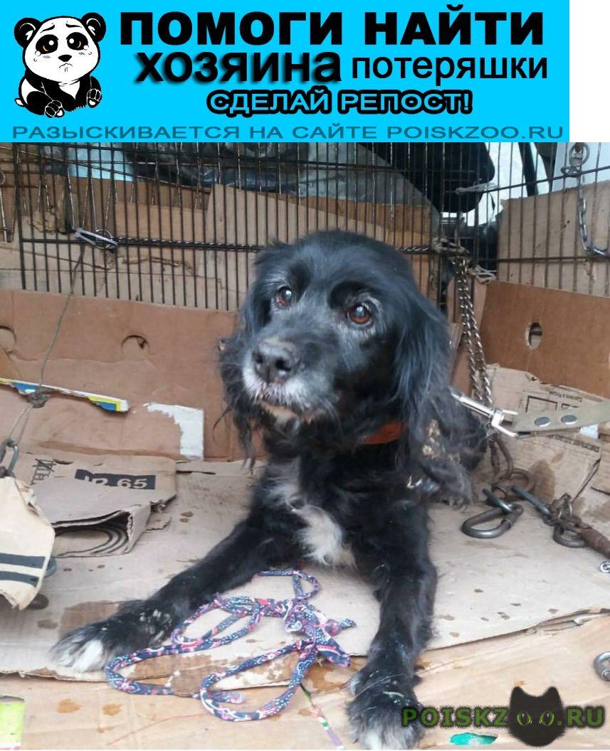 Найдена собака чёрная спаниель г.Иваново