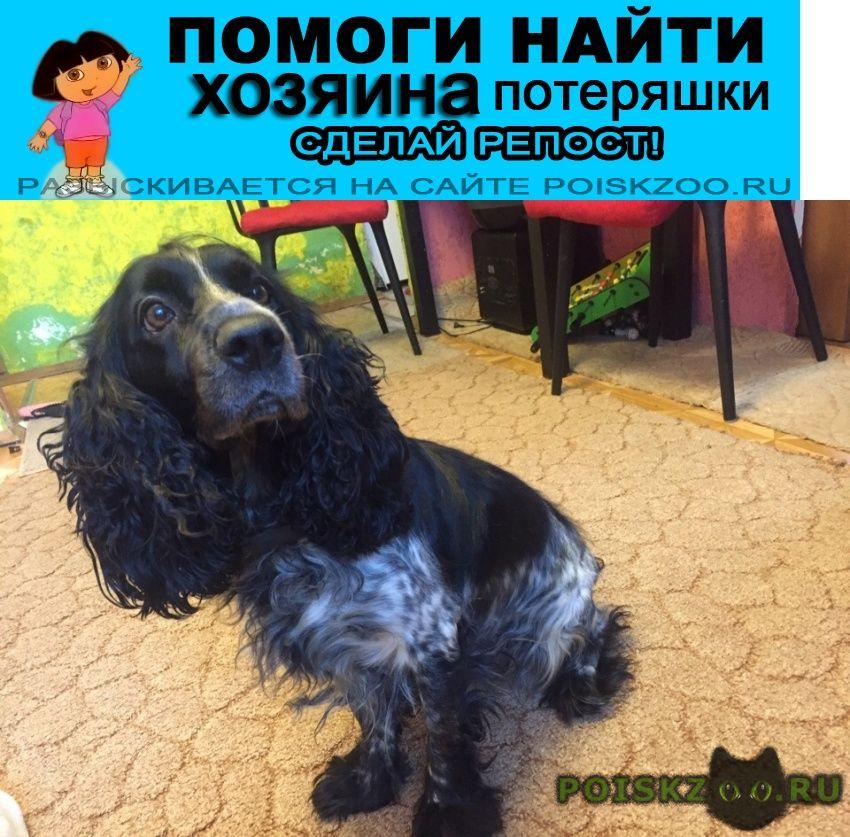 Найдена собака 3.12 спаниель сука назарьево г.Одинцово