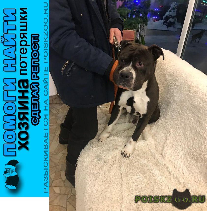 Найдена собака кобель коричневый (шоколадный цвет) г.Москва