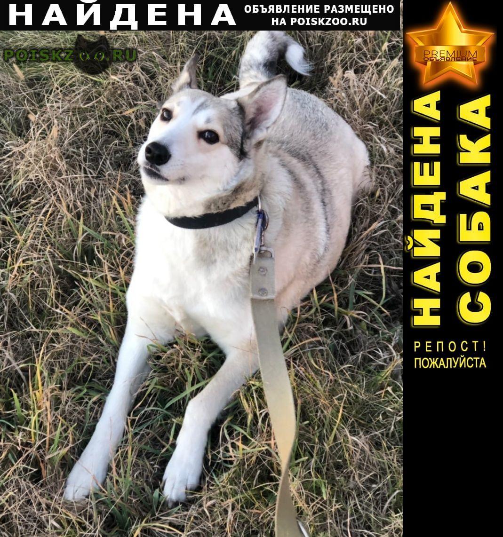 Найдена собака зарадно-сибирская лайка г.Севастополь