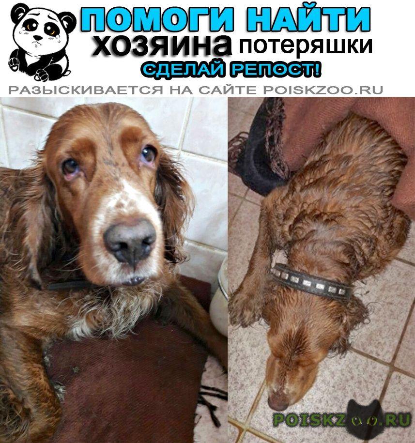 Найдена собака кобель 17.11 рыжий спаниель в ошейнике г.Красноармейск (Московская обл.)