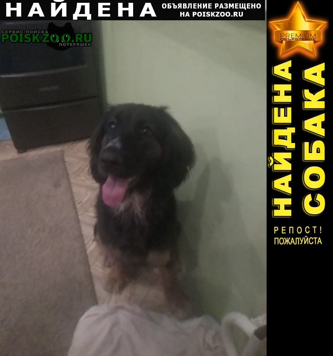 Найдена собака шотладский ретривер Липецк