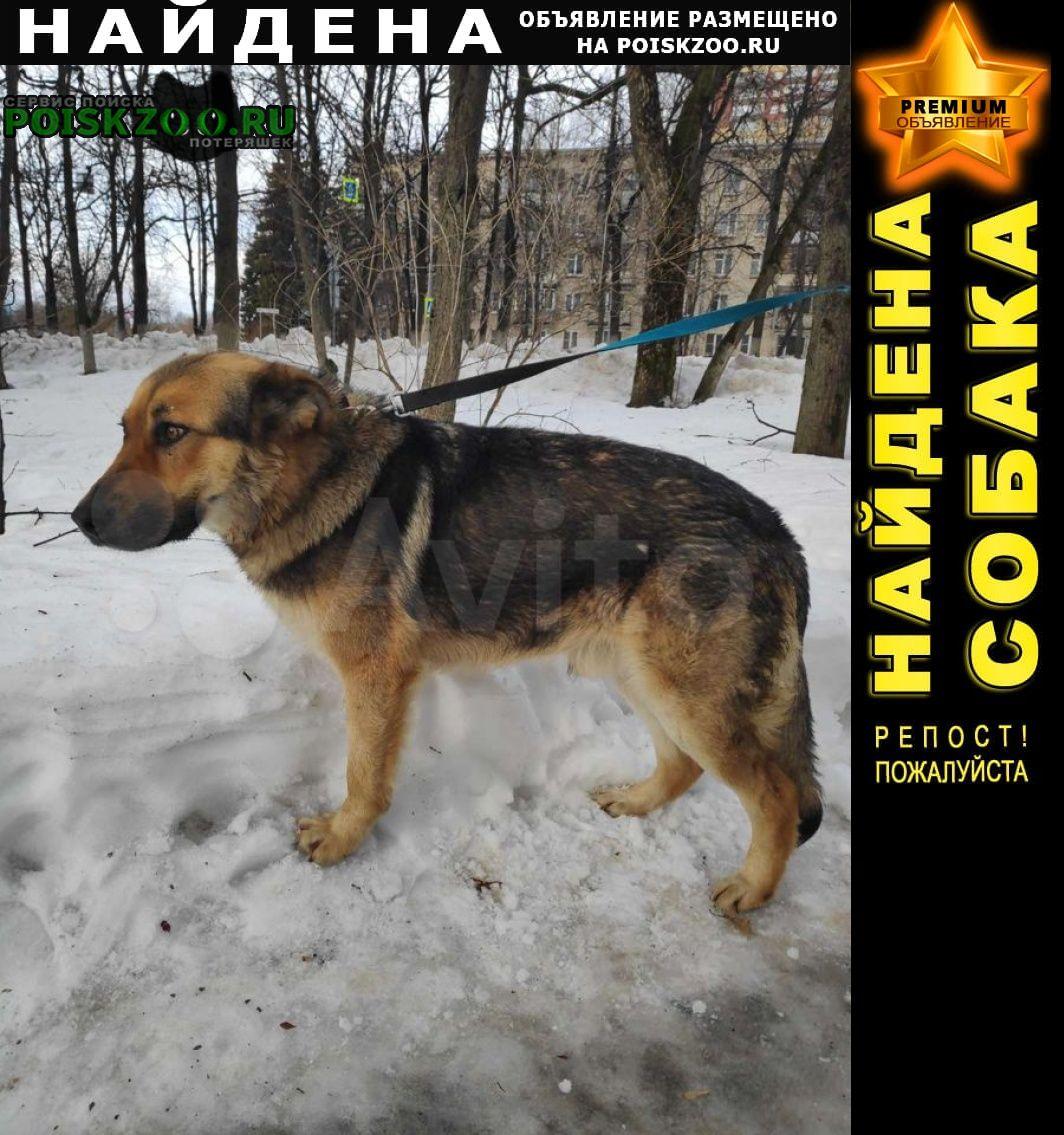 Найдена собака кобель овчарка (метис) домашняя Одинцово