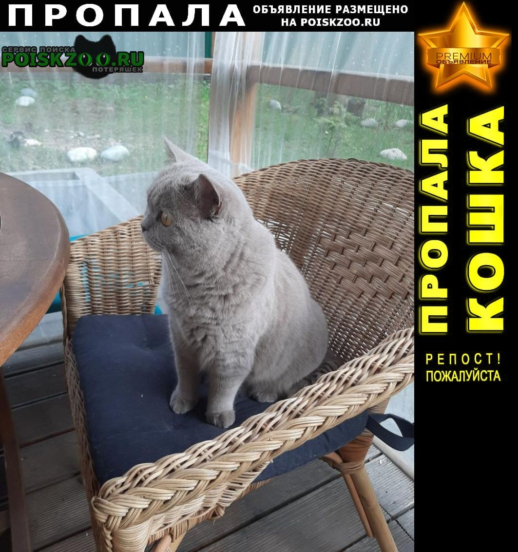 Пропала кошка наша, британка Раменское