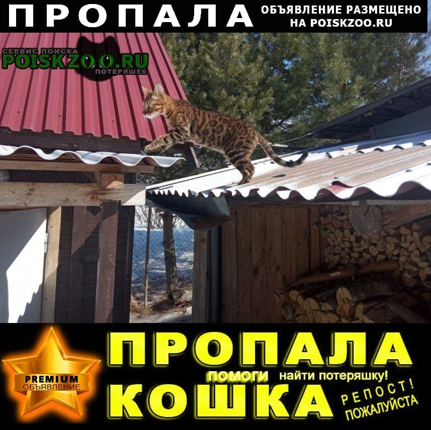 Владимир Пропал кот. бенгал.