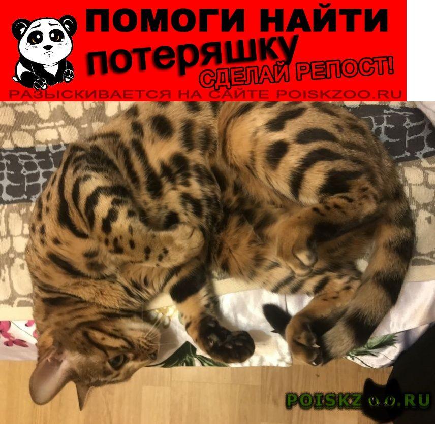 Пропала кошка бенгальская молодёжная г.Москва