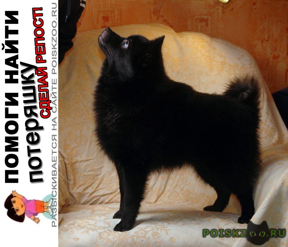 Пропала собака маленькая черная, шипперке г.Тула