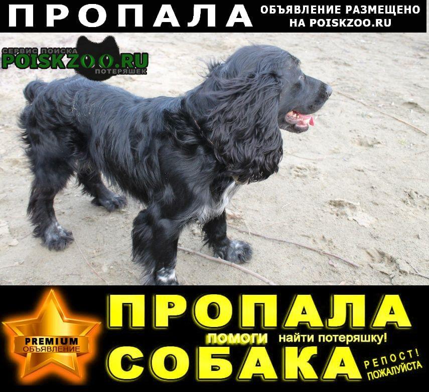 Пропала собака кобель русский спаниэль в краснодарском крае Горячий Ключ