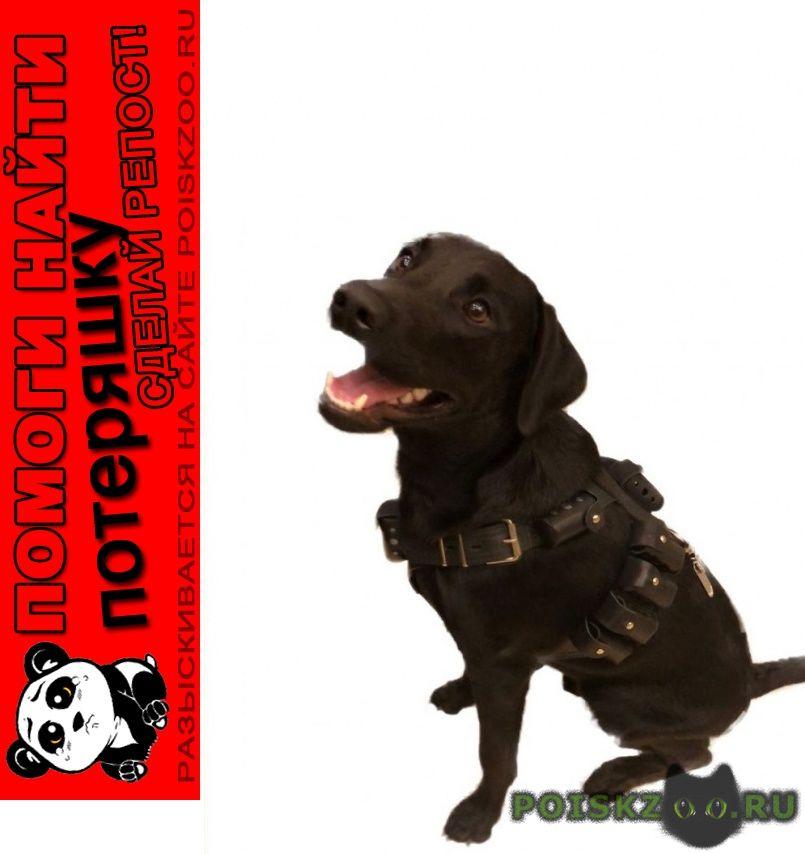 Пропала собака кобель лабрадор г.Москва