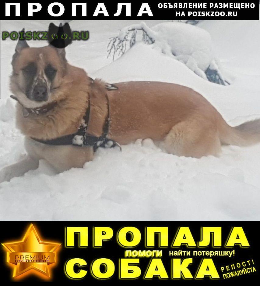 Пропала собака рыжая г.Апрелевка