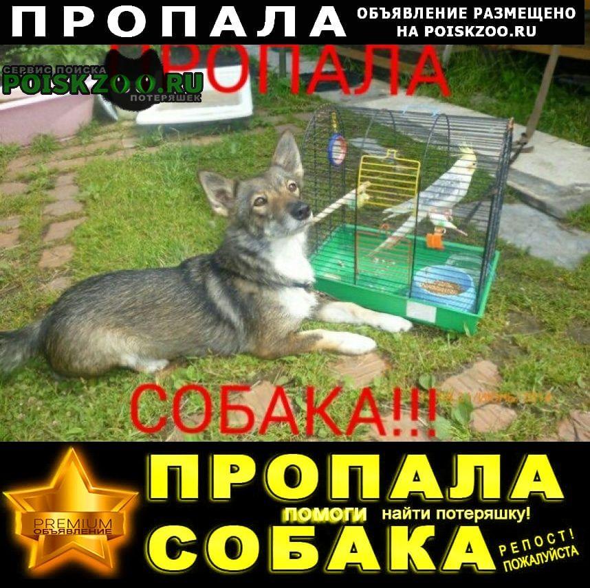 Пропала собака на даче «дубрава» (за ирдоматкой) Череповец