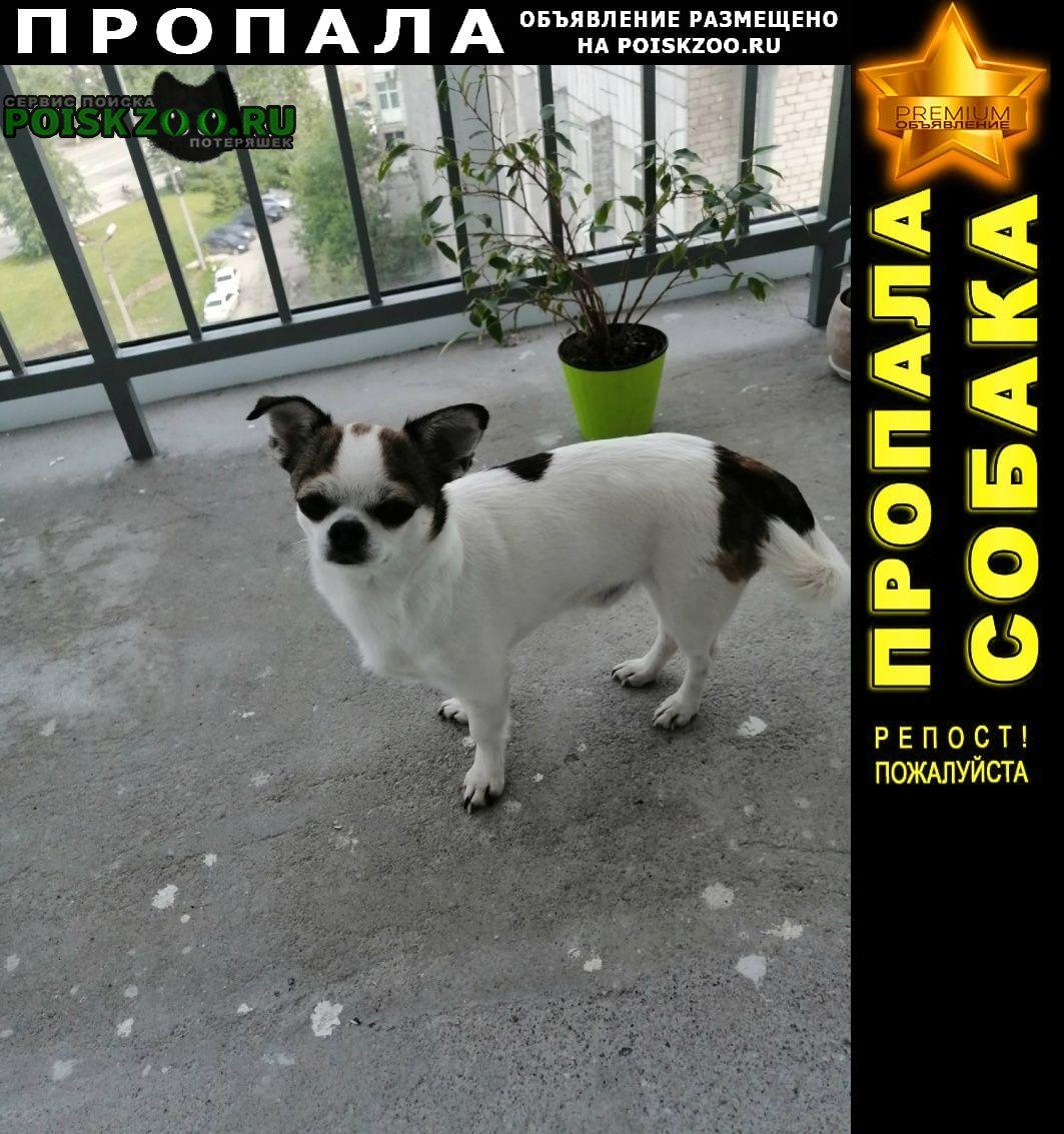Пропала собака песик, породы чихуахуа Пермь
