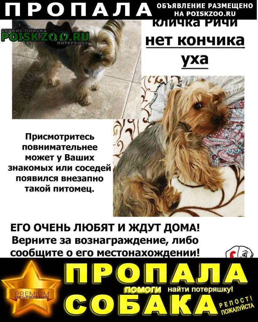 Пропала собака йоркширский терьер Воронеж