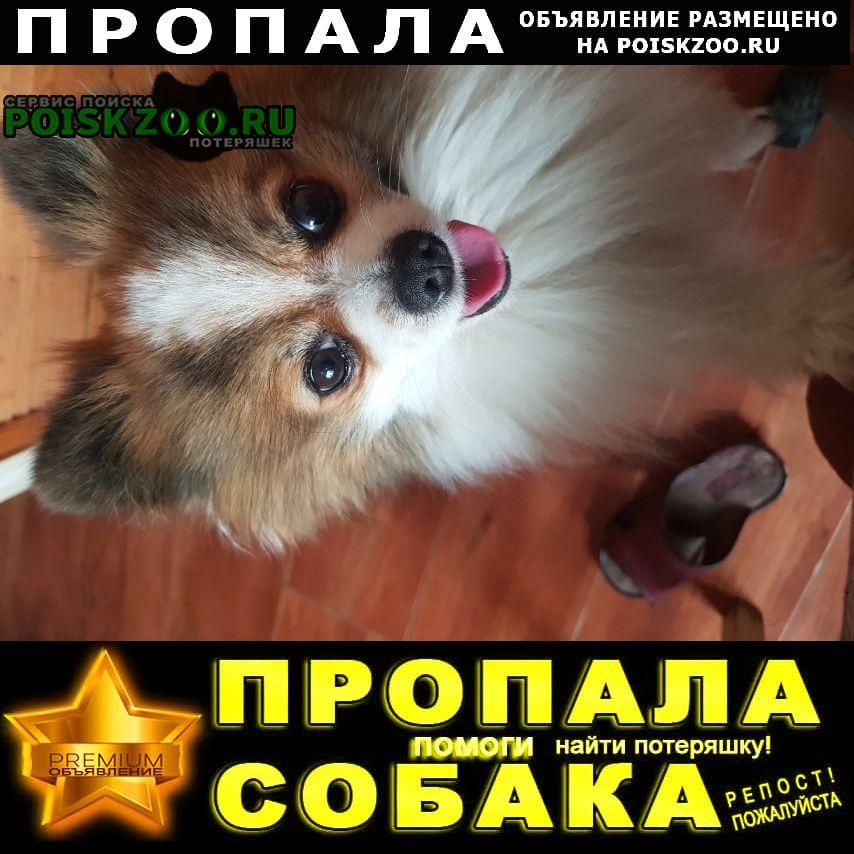 Пропала собака белый с рыжими пятнами шпиц Гатчина