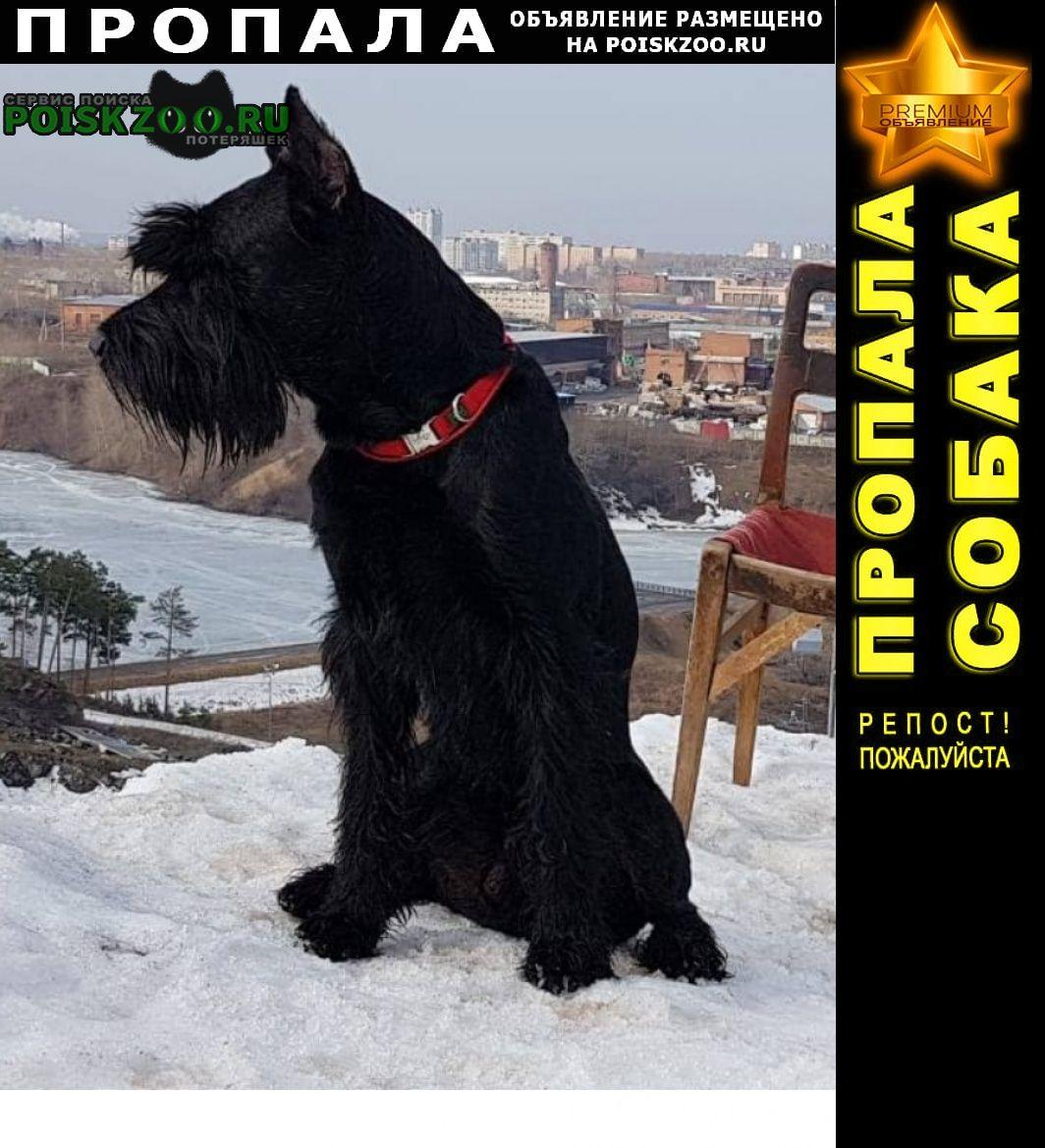 Пропала собака чёрный ризеншнауцер Березовский (Свердловская обл.)