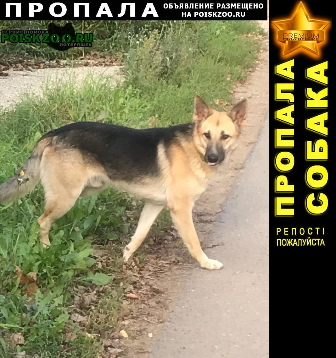 Звенигород Пропала собака метис овчарки