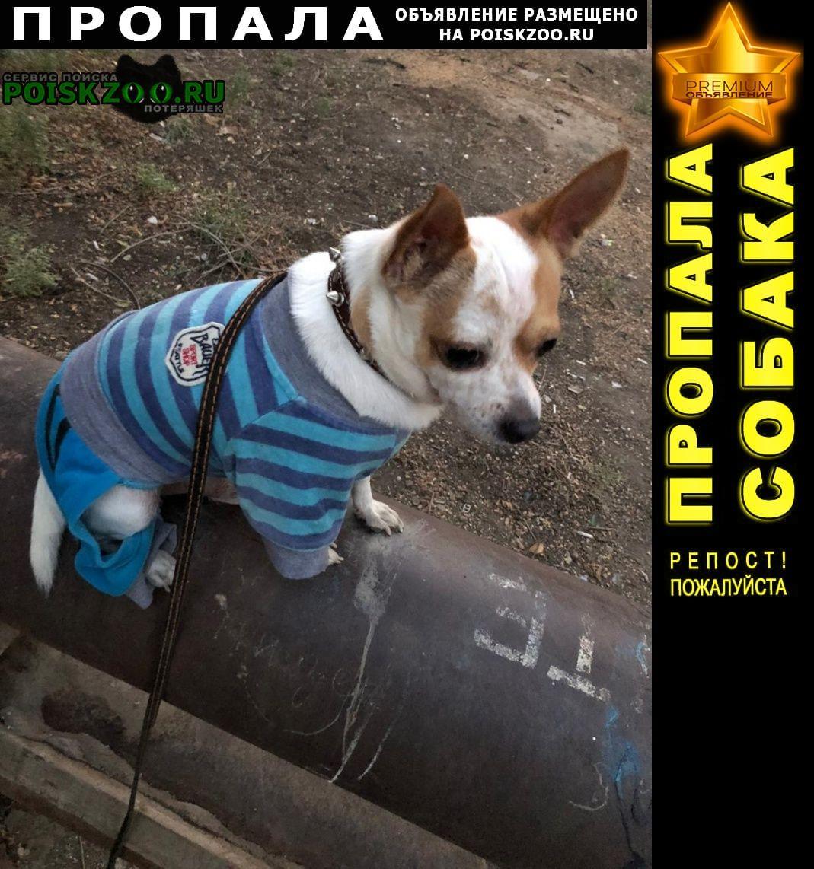 Пропала собака чихуахуа Астрахань
