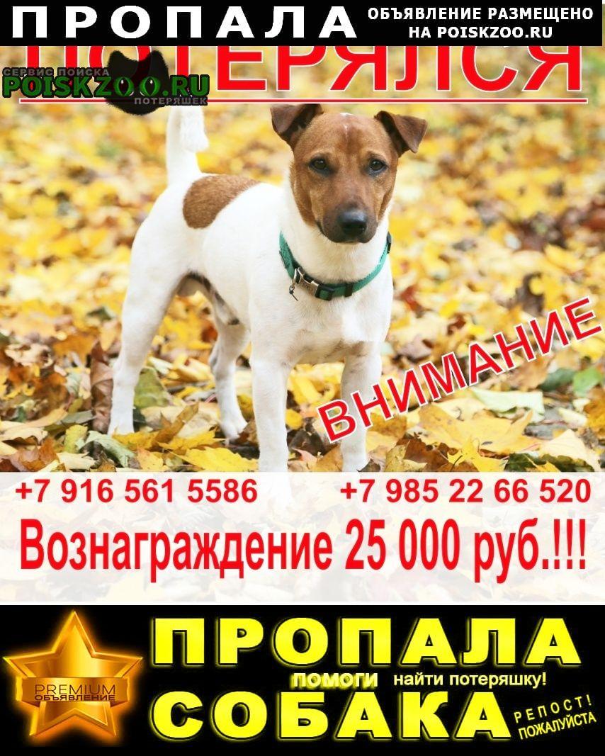 Пропала собака кобель джек рассел, мальчик, 3 года Нарофоминск