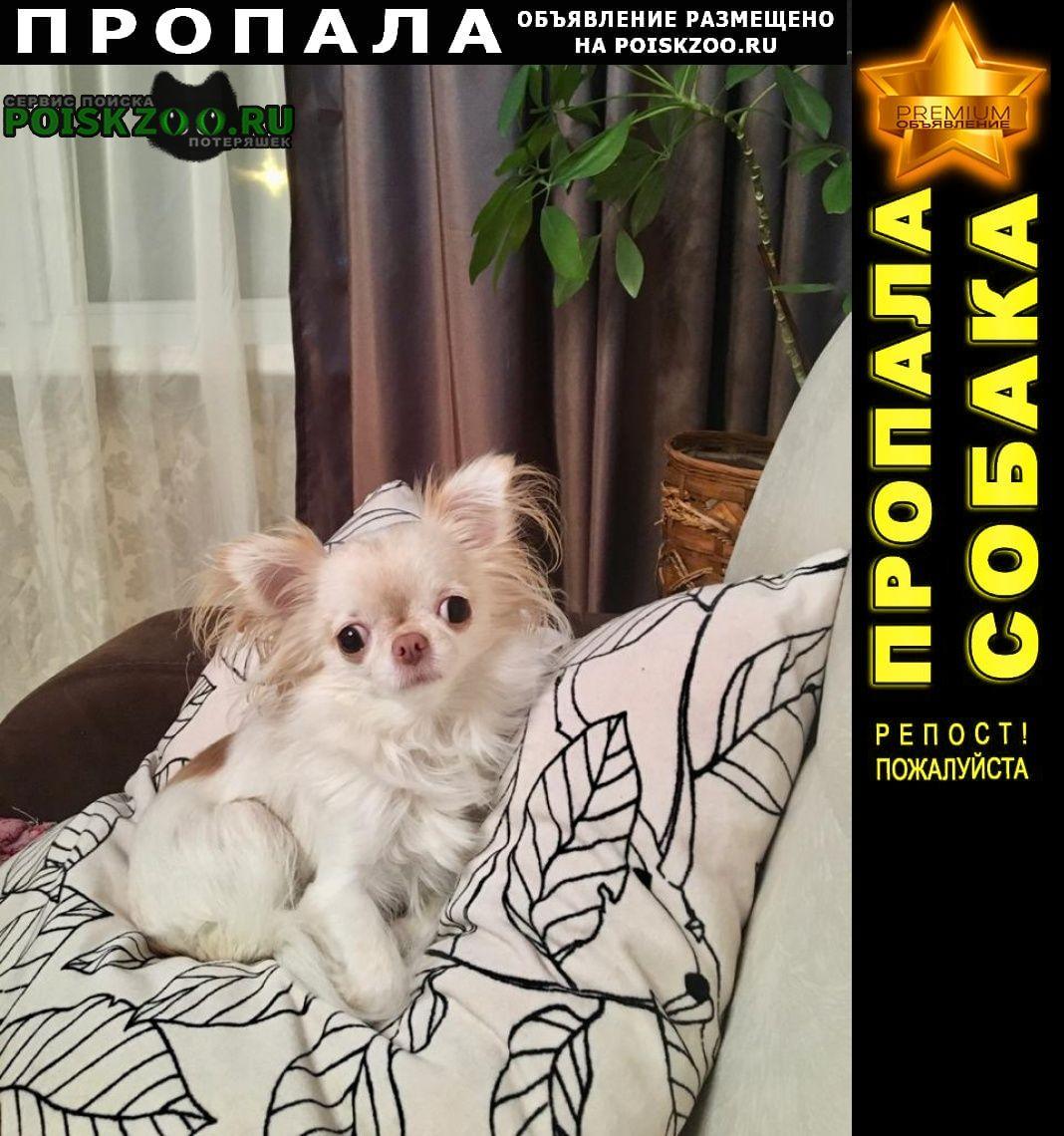 Пропала собака белая чихуа Тула