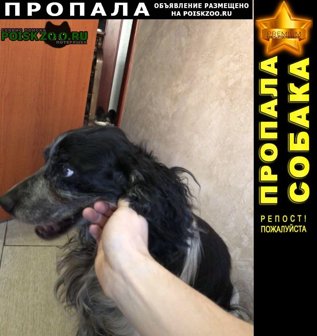 Пропала собака спаниель черно-белый окрас Ярославль