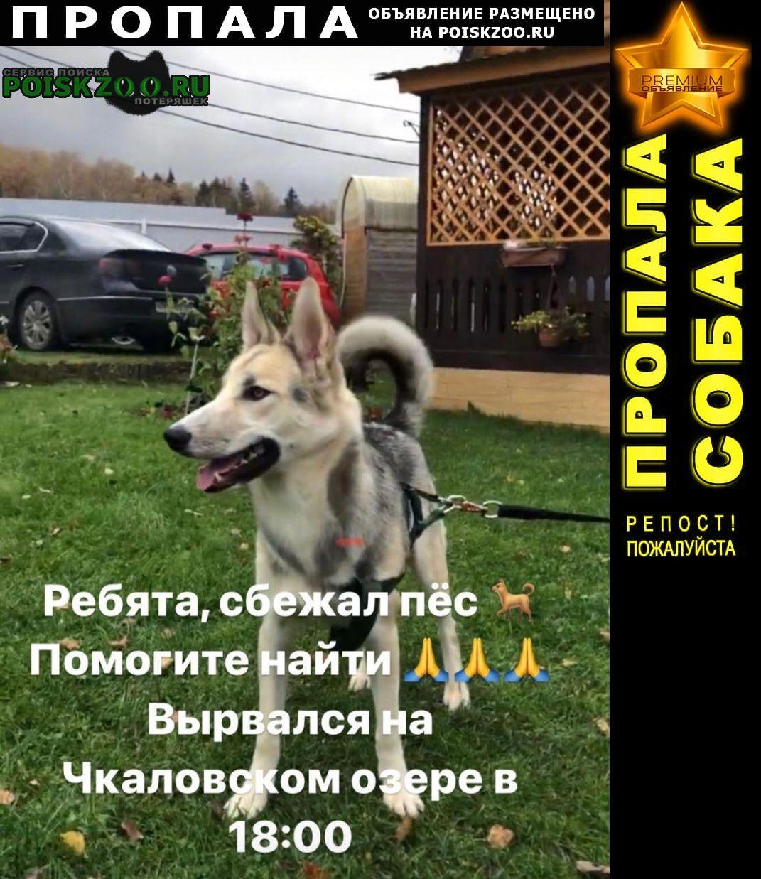 Пропала собака хаски (метис) Щелково