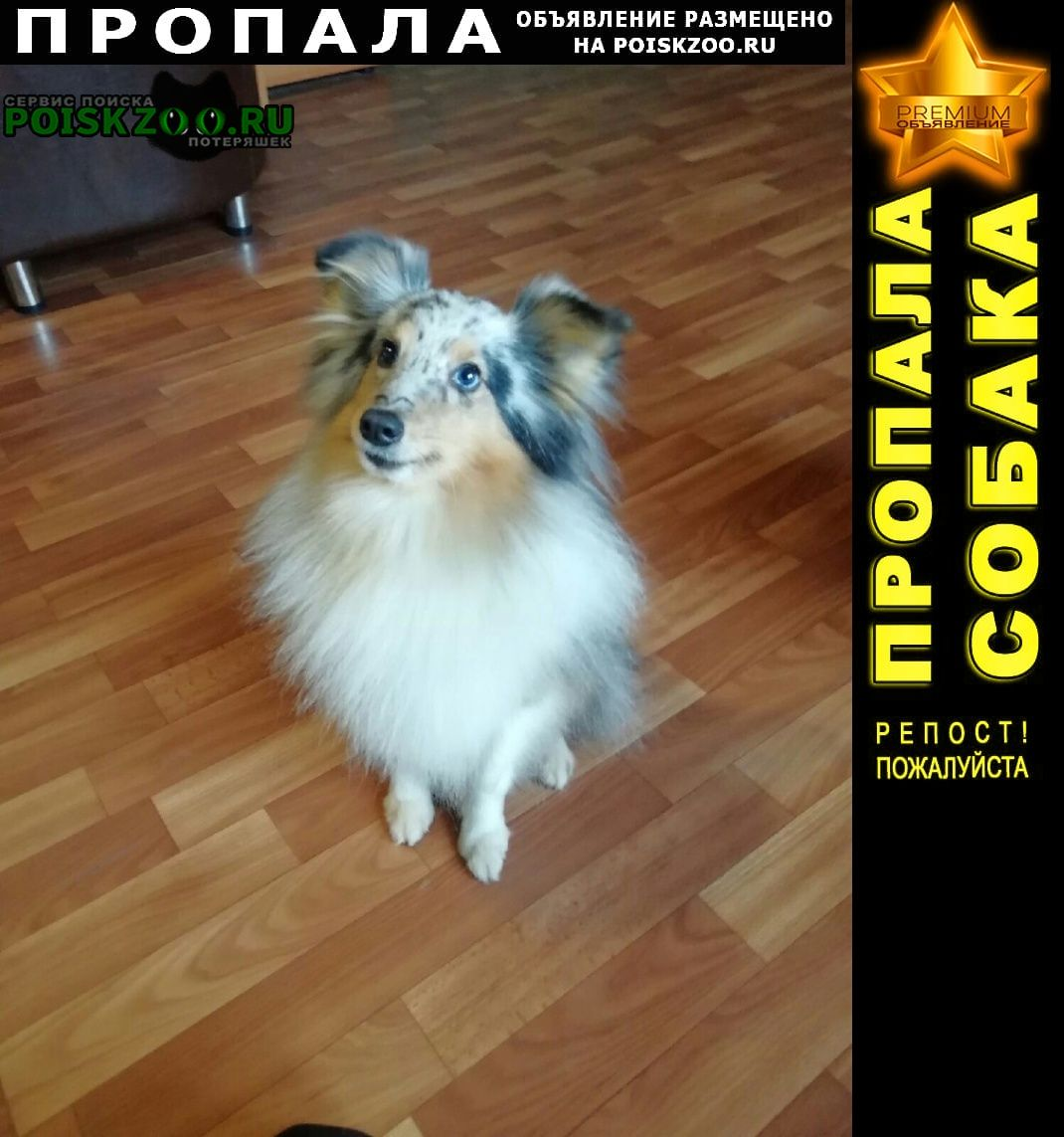 Санкт-Петербург Пропала собака породы шелти