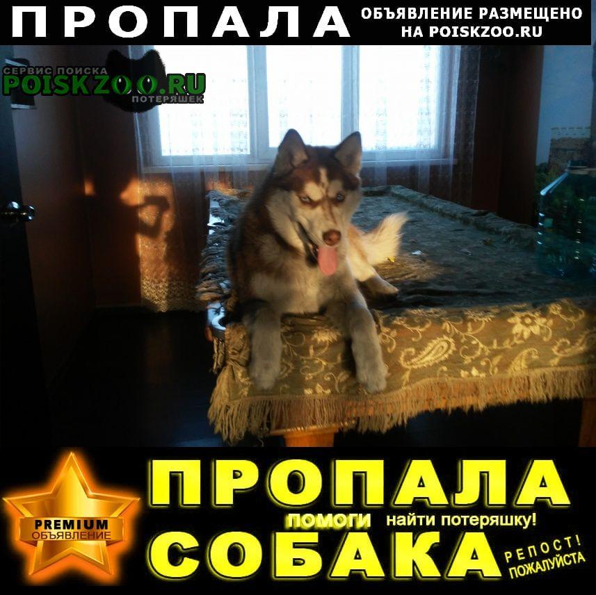 Пропала собака хаски Новокузнецк